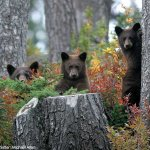 Summer holiday and black bear tour at Whistler