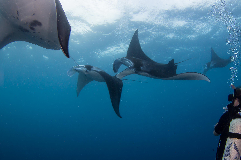 Manta-rays-yap