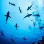 dive-yap-sharks