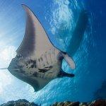 manta-ray-yap
